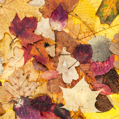 autumn background from various varicolored leaves