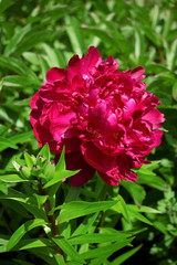 Vinous peony in a garden on a sunny day