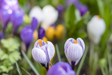 Spring background with flowering colorful crocus in early spring
