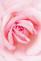 ピンクの薔薇の花 クローズアップ