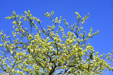 Blossoming apple tree.