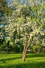 Blooming apple orchard.