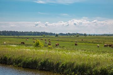 Kühe auf einer Wiese am Bodden in Prerow