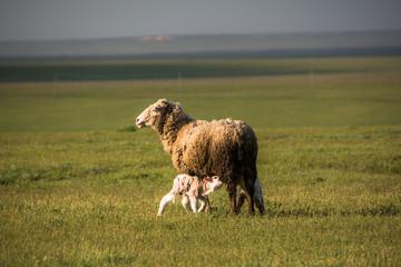 Ram kid. Chyornye Zemli (Black Lands) Nature Reserve, Kalmykia region, Russia.