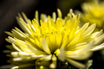 Macro fotografia di un fiore di crisantemo giallo