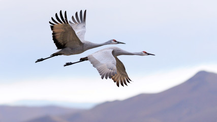 Aluminium Prints Bird Flying cranes