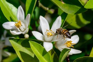Orange tree blossom honey bee
