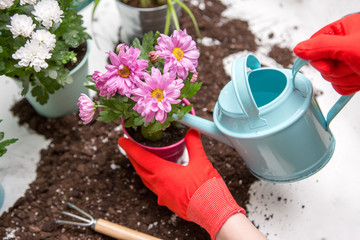 Photo of soil, watering can, human hands in red rubber gloves watering flowers