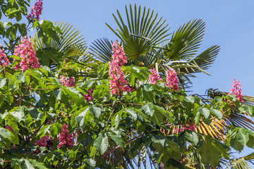 Blooming pink chestnut in the park of Sochi. Russia.