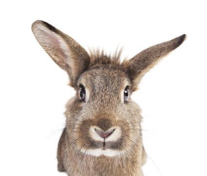 Rabbit head ears isolated