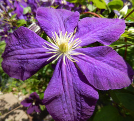Close-up on a clematis flower in bloom