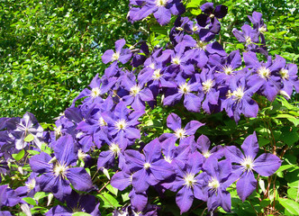 A climbing vine of violet Clematis flowers