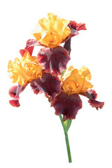 Bunch of three rare color yellow and brown iris flowers isolated on white background