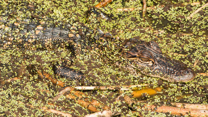 Young Alligator in Brazos Bend State Park, Texas
