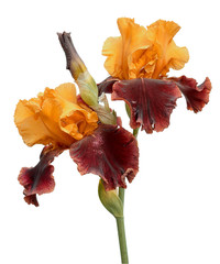 Bunch of two rare color yellow and brown iris flowers and bud isolated on white background