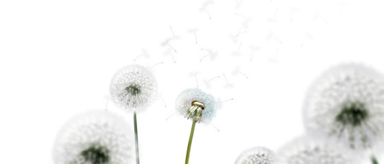Schöne Pusteblumen freigestellt