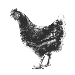 Vector engraved style illustration for posters, decoration and print. Hand drawn sketch of chicken in monochrome isolated on white background. Detailed vintage woodcut style drawing.