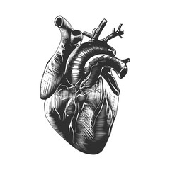 Vector engraved style illustration for posters, decoration and print. Hand drawn sketch of anatomical heart in monochrome isolated on white background. Detailed vintage woodcut style drawing.