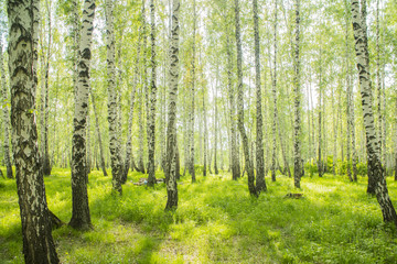 Foto op Canvas Bos summer birch forest