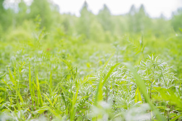 grass in the summer forest close-up
