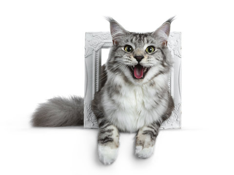 Pretty smiling young adult black silver tabby Maine Coon cat laying in a white photo frame isolated on white background, looking at the lens with open mouth