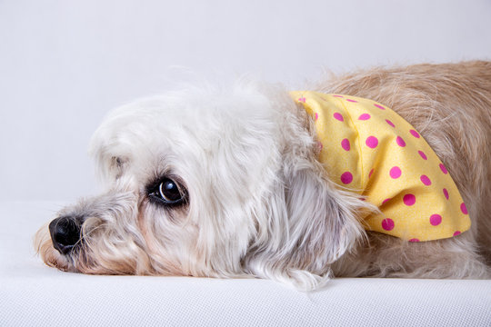 Dandie Dinmont Terrier isolated on white backdrop wearing Bandana