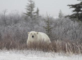 Polar Bear in Hudson Bay near the Nelson River - 210213029
