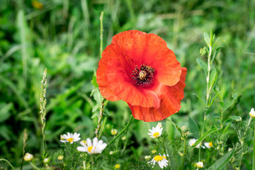 Flower of red poppy in the field with chamomile_
