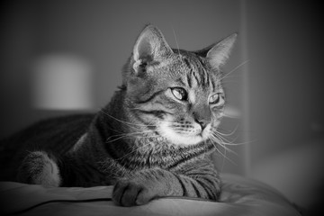 A black and white photo of a tabby cat lying on a pillow.Cute pet - domestic  cat lying on a pillow.