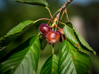 cherry fruit rot caused by the fungus Monilia