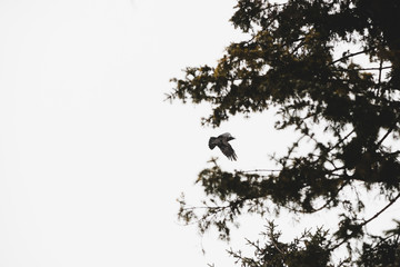 Black raven flies on spruce background on hunt. Atmospheric landscape with dark crow in gray sky above coniferous tree with copy space. Beautiful flight of predatory bird in winter.