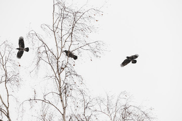 Three black ravens flies above trees on hunt. Atmospheric landscape with dark crows in gray sky with copy space. Wingspan of wild flying animals of city. Beautiful flight of predatory birds in winter.