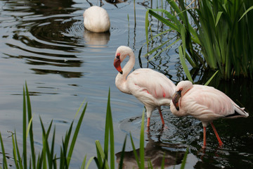 Flame-colored flamingos wading birds in at lake