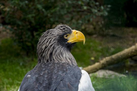 The Steller's sea  eagle (Haliaeetus pelagicus) portrait .