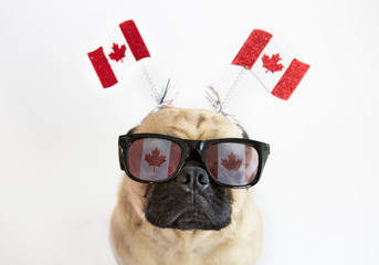 Cute pug dog wearing Canadian Flag sunglasses and flag headband for Canada Day