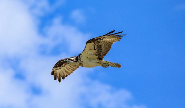 Seahawk in flight