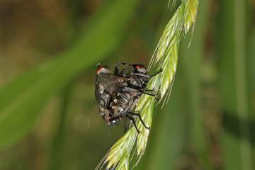 mosche grigie in accoppiamento
