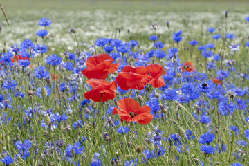 field of Poppies and corn-flowers
