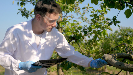 A young handsome (male) biologist or agronomist, working in a tablet, wearing a white coat, wearing goggles, wearing blue rubber gloves, walks across the apple tree, the background of nature and green