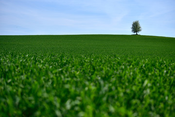 Panorama of a maple tree on a meadow against a blue sky.