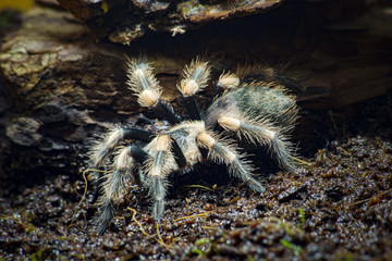 spider tarantula on earth