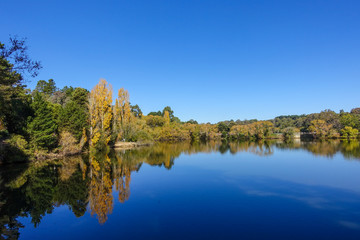 Autumn shot of golden yellow trees around lake against pure blue sky. Daylesford, VIC Australia.