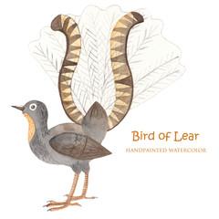 Bird Lira watercolor. Bird of Australia. Isolated illustration on white background.