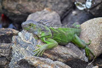 Wild Iguana resting at dusk on rocks in Marina Vallarta  in Puerto Vallarta Mexico. Ctenosaura pectinata, commonly known as the Mexican spiny-tailed iguana or the Mexican spinytail iguana, is a modera