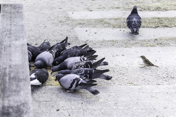 A few pigeons peck scattered grain, but one pigeon turned away. But then there was a sparrow site about birds, animals, upbringing, good manners.