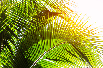Background image of coconut leaves
