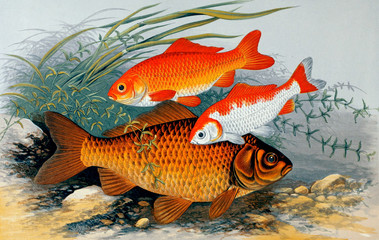 Illustration of fish. golden bronze carp