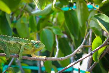 Chameleon in a Tree