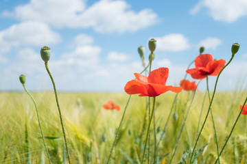 Beautiful bright red poppies with green grass and leaves in the background of blue sky and clouds. Close up of red poppy flowers in field. Few red flowers in the summer field.