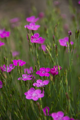 FLOWERS: carnation sandy